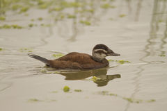 Female White-headed Duck (Oxyura leucocephala) Stock Photos