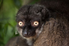 Female white-headed lemur Eulemur albifrons. Also known as the white-fronted brown lemur stock photography