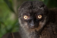 Female white-headed lemur Eulemur albifrons Stock Photos