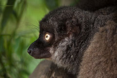 Female white-headed lemur Eulemur albifrons. Also known as the white-fronted brown lemur royalty free stock photo
