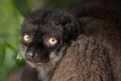 Female white-headed lemur Eulemur albifrons. Also known as the white-fronted brown lemur stock images