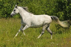 Female white horse running gallop wild. Full body of a female white horse running wild on the farm outdoors Stock Photography