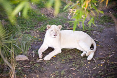 Female white lion Royalty Free Stock Image