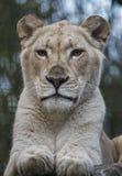 Female white lion Stock Images