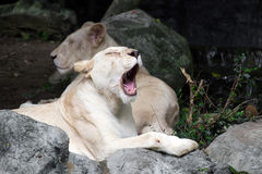 Female white lion lying on the rock Stock Photography