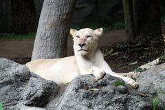 Female white lion lying on the rock Stock Photo