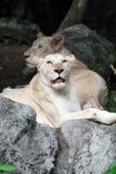 Female white lion lying on the rock Royalty Free Stock Photos