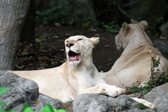 Female white lion lying on the rock Stock Photos