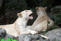 Female white lion lying on the rock Royalty Free Stock Photography