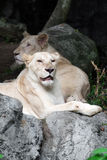 Female white lion lying on the rock Royalty Free Stock Images