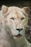 Female white lion Panthera leo krugeri. Royalty Free Stock Image