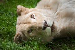 Female white lion Panthera leo krugeri. Royalty Free Stock Images
