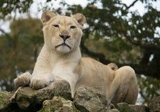 Female white lion Royalty Free Stock Photos