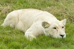 Female white lion resting Royalty Free Stock Photos