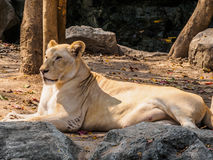Female white lion sunbathing on sunny day Stock Photo