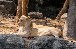 Female white lion sunbathing on sunny day Stock Photography
