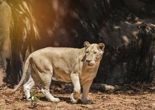 Female white lion walking in natural Royalty Free Stock Photos