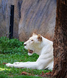 Female White lion Royalty Free Stock Images