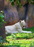 Female White lion Royalty Free Stock Photos