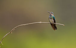 Female white-necked Jacobin Stock Photo