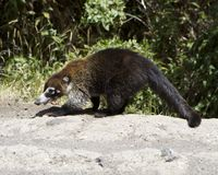 Female White-Nosed Coatimundi Stock Image