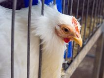 The Female white pekin bantam cockerel put its head out from the steel cage at an Australian farming. Female white pekin bantam cockerel put its head out from stock image