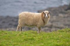 Female white ram sheep Royalty Free Stock Photos