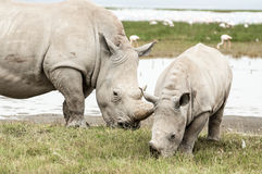 Female White Rhino with her young. A female White Rhinocores, together with her young offspring, grazing on succulent grass at Lake Nakuru stock photos
