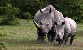 Free Female White Rhino / Rhinoceros And Calf / Baby. South Africa Stock Image - 42905311