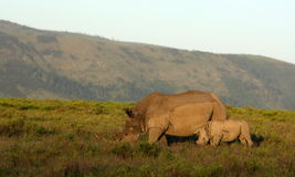 Female white rhino / rhinoceros and calf / baby. South Africa. A close up of a female rhino / rhinoceros and her calf. Showing off her beautiful horn. Protecting stock photos
