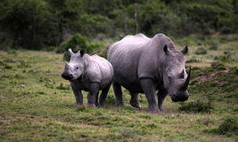 Female white rhino / rhinoceros and calf / baby. South Africa. A close up of a female rhino / rhinoceros and her calf. Showing off her beautiful horn. Protecting royalty free stock photos