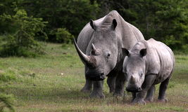 Female white rhino / rhinoceros and calf / baby. South Africa. A close up of a female rhino / rhinoceros and her calf. Showing off her beautiful horn. Protecting stock image