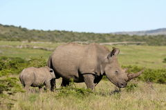 Female white rhino / rhinoceros and calf / baby. South Africa. A close up of a female rhino / rhinoceros and her calf. Showing off her beautiful horn. Protecting stock photo