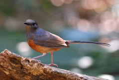 Female white rumped sharma Stock Images