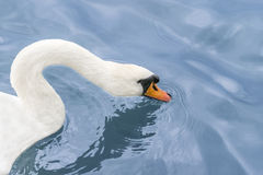 Female white swan drinking water on the Seine River Royalty Free Stock Images
