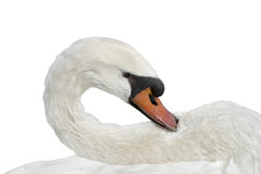 Female white swan grooming after a bath – isolated Royalty Free Stock Photo