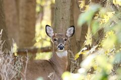 Female white tail deer in the fall. stock photos