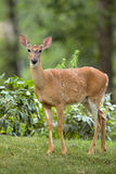 Female white-tailed deer on front yard Royalty Free Stock Photography