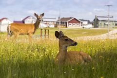 Female white-tailed deer lying in wild flowers with second female deer standing. Frontal view of young female white-tailed deer lying in wild flowers in profile royalty free stock photos
