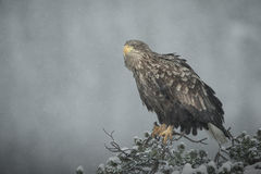Female White-tailed Eagle in heavy snow. A female White-tailed Eagle perched on top of a stunted pine tree in heavy snow Stock Photography