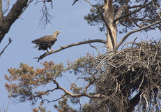Female white-tailed eagle nest near a pine tree on a spring day. Royalty Free Stock Photography