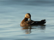 Female White-winged Scoter Royalty Free Stock Image