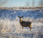 Female Whitetail Deer. In a frosty field Stock Photos