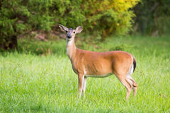 Female whitetail deer late summer. On alert in field stock photos