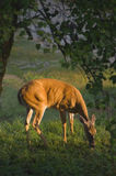 Female Whitetail Deer (Odocoileus virginianus). Female White tailed deer (Odocoileus virginianus) eats pears under a Pear tree in Tennessee, USA Stock Photography