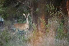 Female Whitetail Deer takes protective stance royalty free stock photography