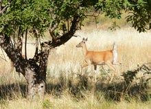 Female whitetail deer Stock Image