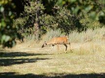 Female whitetail deer Royalty Free Stock Photos