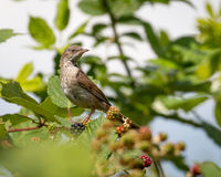 Female whitethroat. Songbird female whitethroat standing in a blackberry bush royalty free stock image