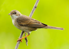 Female of a Whitethroat, Sylvia communis Stock Photo